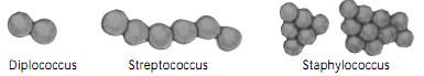 bentuk bakteri cocus dari kingdom monera