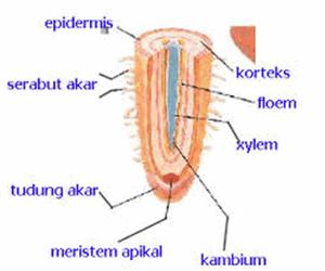 anatomi akar