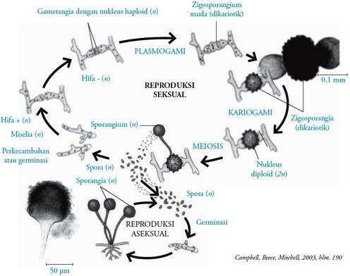klasifikasi jamur,reproduksi zygomycotina
