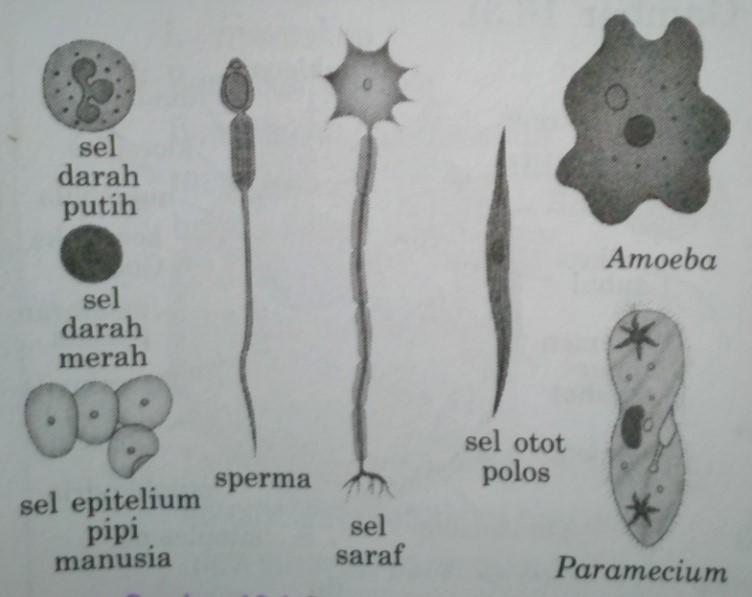 bentuk sel
