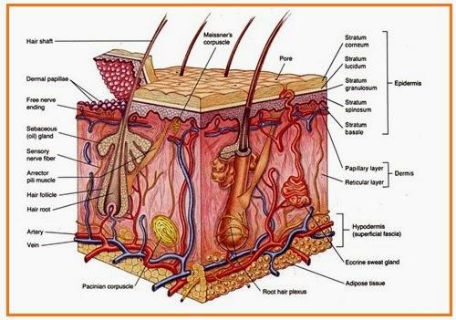 bagian bagian kulit manusia