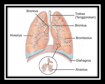 bagian bagian paru paru