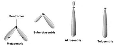 Bentuk kromosom berdasarkan letak sentromernya