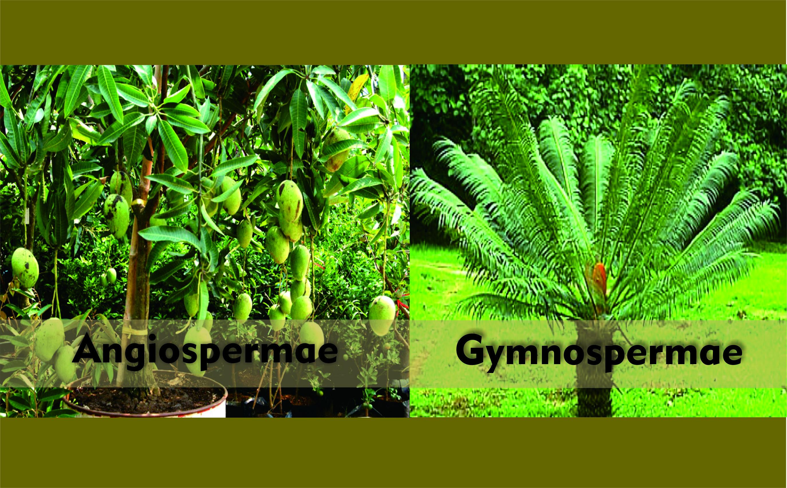 Pengertian, Ciri, dan Klasifikasi Gymnospermae (Tumbuhan ...