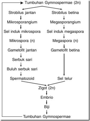 Skema pembuahan gymnospermae